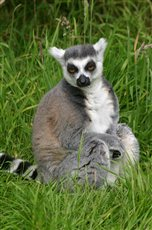 Look out for lemur - picture