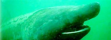 Isle of Man News Image - Lottery trust: basking sharks