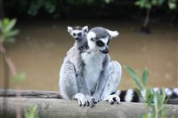 Late arrival enchants visitors to Curraghs Wildlife Park - picture
