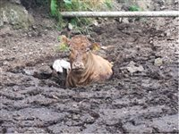 Cow rescued after getting stuck in slurry pit - picture