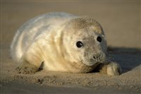 ManxSPCA issues advice over seal pups - picture