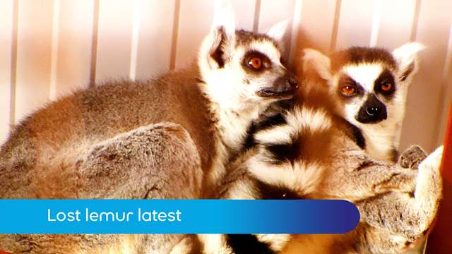 Preview of - Lost lemur latest
