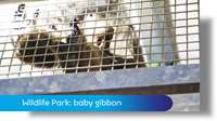 Curraghs Wildlife Park: baby gibbon