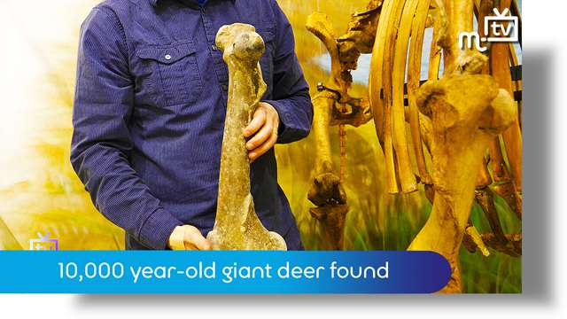 Preview of - 10,000 year-old giant deer