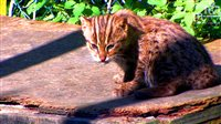 Fishing Cat Kitten